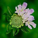 Pincushion Flower by Pamela Hubbard
