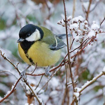 Great tit on frosty morning, County Kilkenny, Ireland by AndyJones