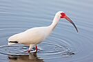 Wading American White Ibis by Kenneth Keifer