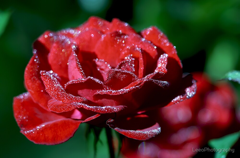 Wairoa Rose by LeeoPhotography