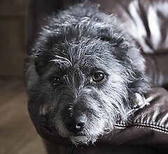 Scottish Terrier Cross - Pepper by lisajns