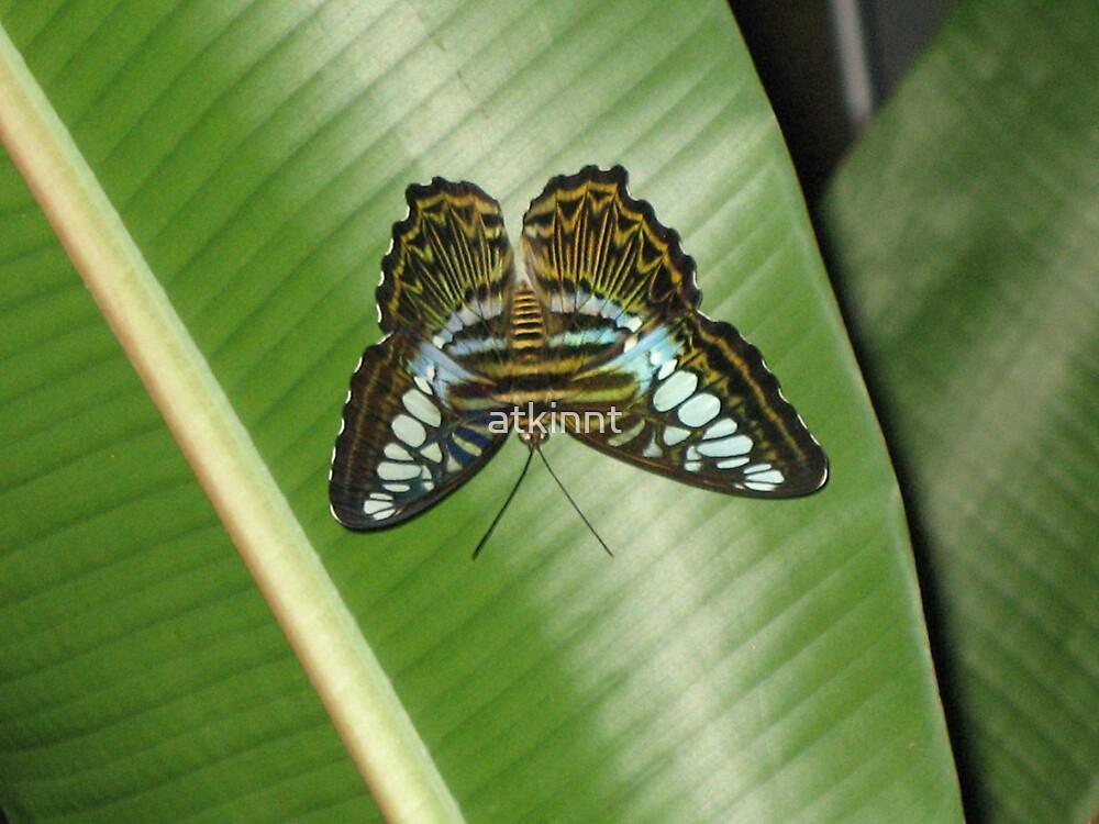 Butterfly on leaf by atkinnt