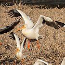 Pelican TakeOff by Deb Fedeler
