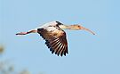 Young Ibis in Flight by Kenneth Keifer