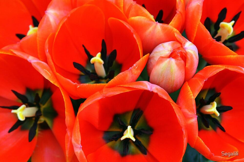 10 Tulips - 6 Euros! by Segalili