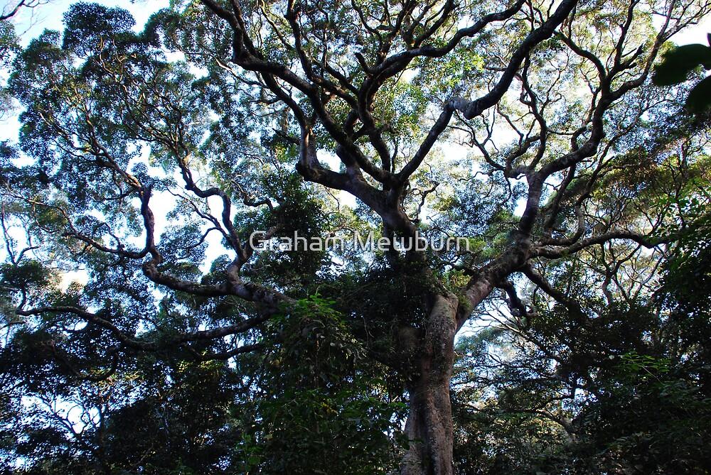 Harrington Rainforest Tree by Graham Mewburn