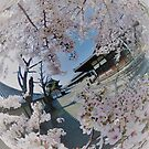 An explosion of Sakura by Michelle Dry