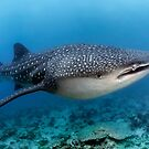 Whale shark by Norbert Probst
