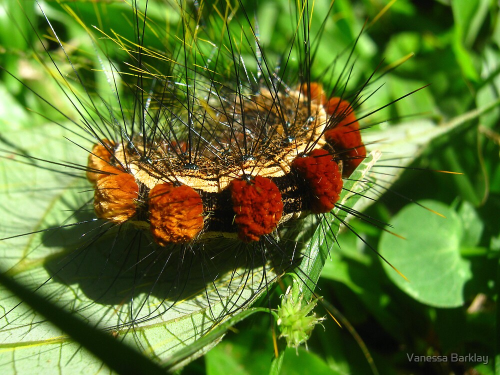 Fantastic Caterpillar Curled Up by Vanessa Barklay