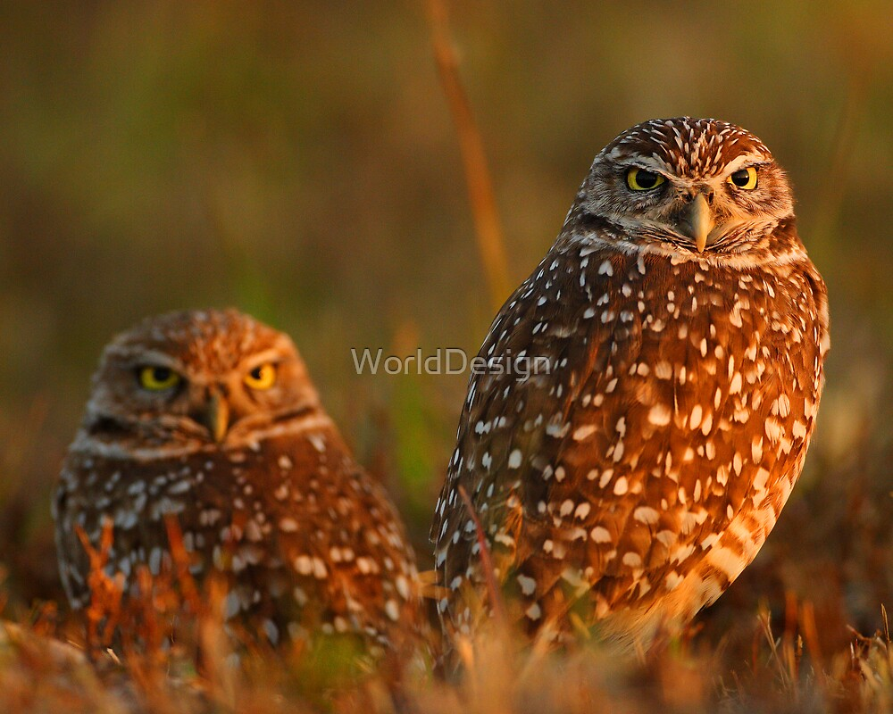 Burrowing Owl Couple at Sunset by WorldDesign