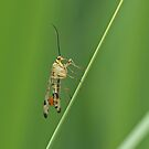 Scorpionfly by Robert Abraham