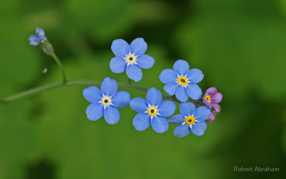 Myosotis Palustris by Robert Abraham