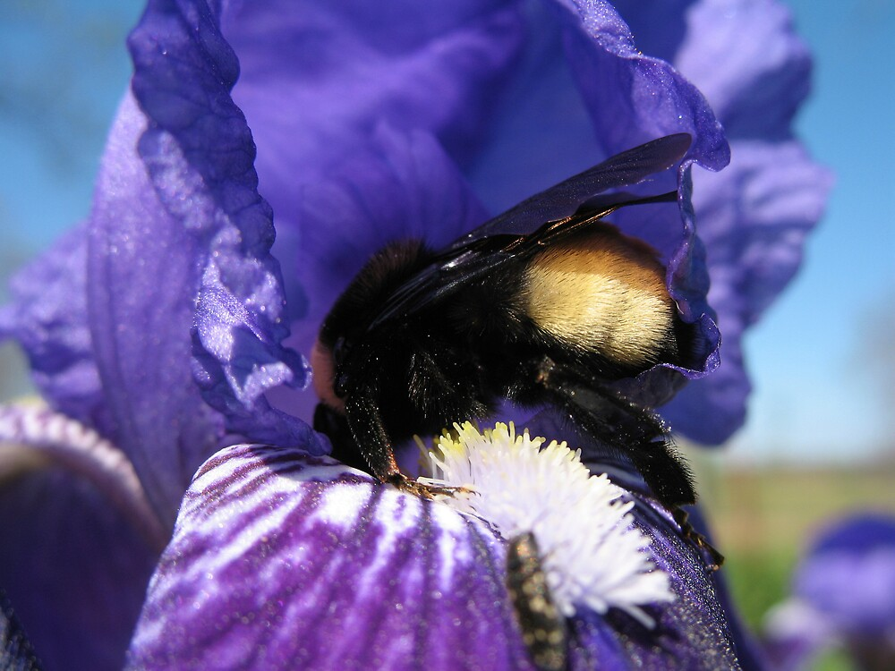I have irises  blooming!! by megrag53