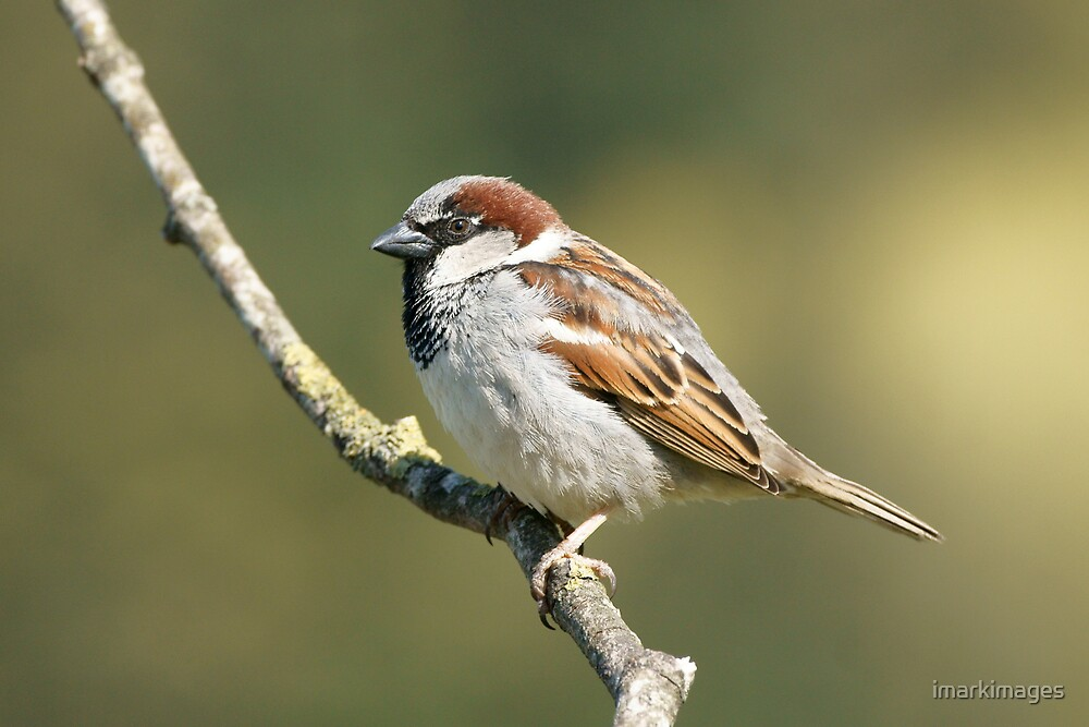 House Sparrow by imarkimages