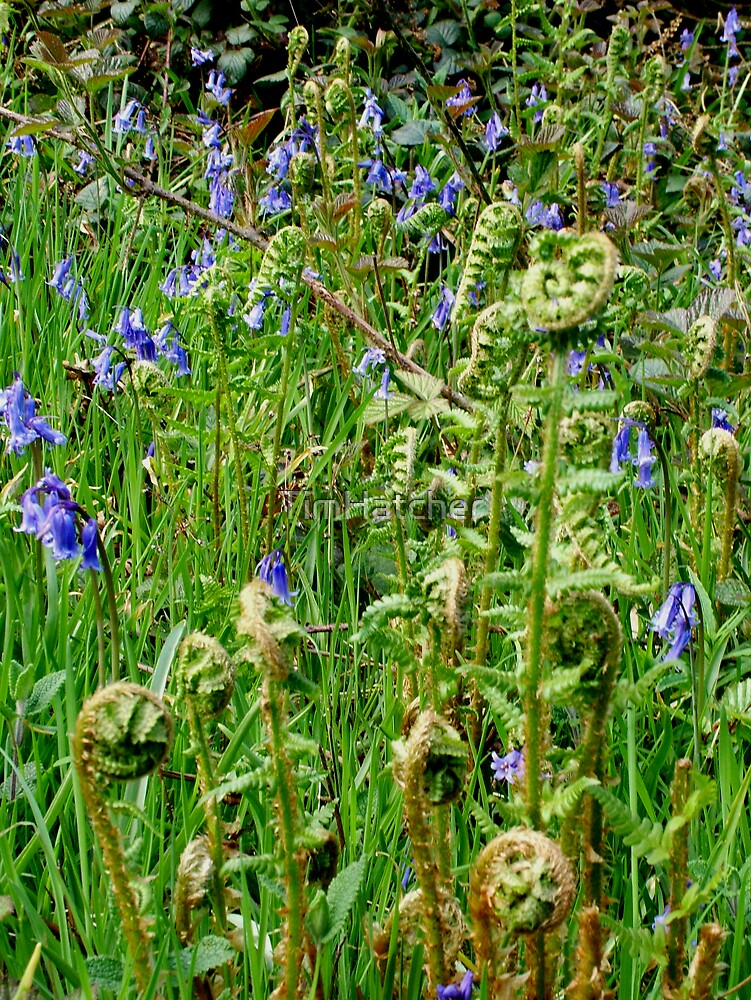 Bluebells and Bracken by TimHatcher