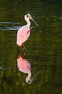 Beautiful and Bizarre Roseate Spoonbill by Kenneth Keifer