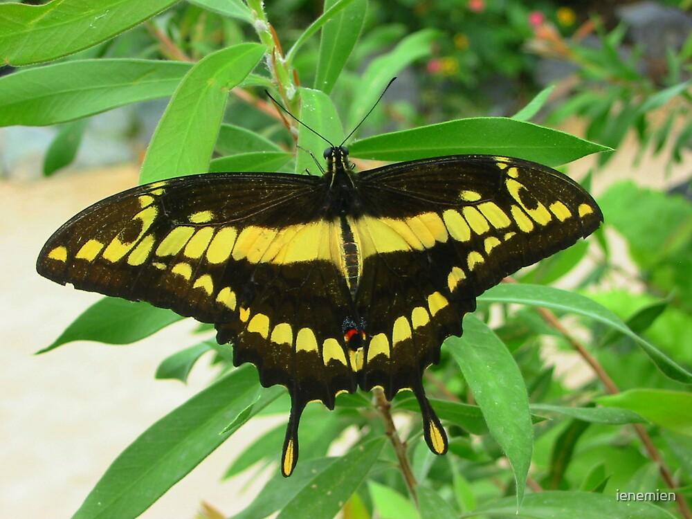 Swallowtail butterfly by ienemien