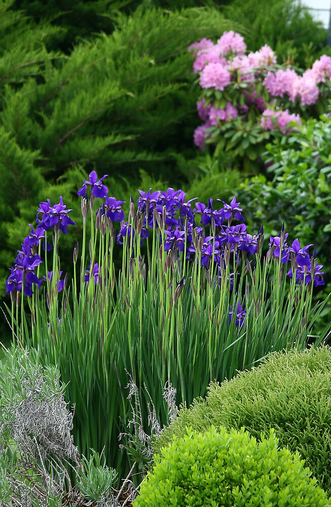 Iris Beauty by Trudy Wilkerson