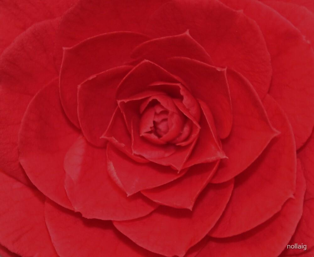 Belle Rose by nollaig