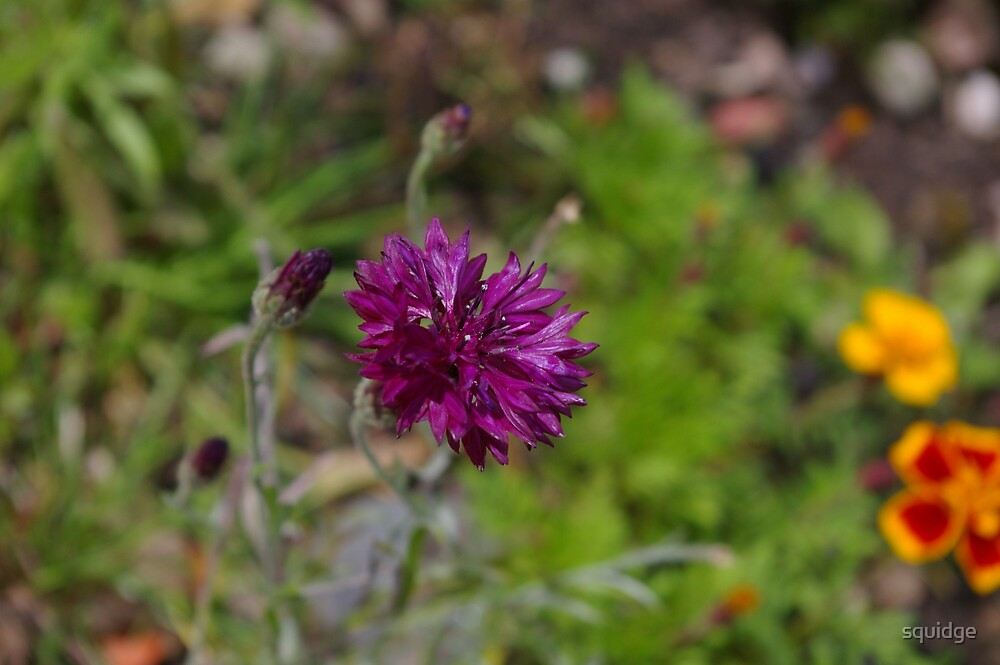 purple cornflower by squidge