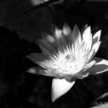 Lotus by Kinnally