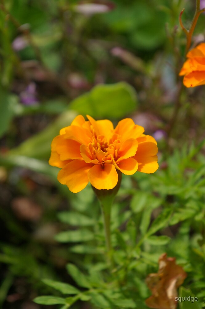 golden marigold by squidge