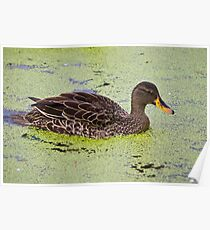 Yellow Billed Duck Poster