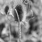 Teasel in black and white by Janine Paris