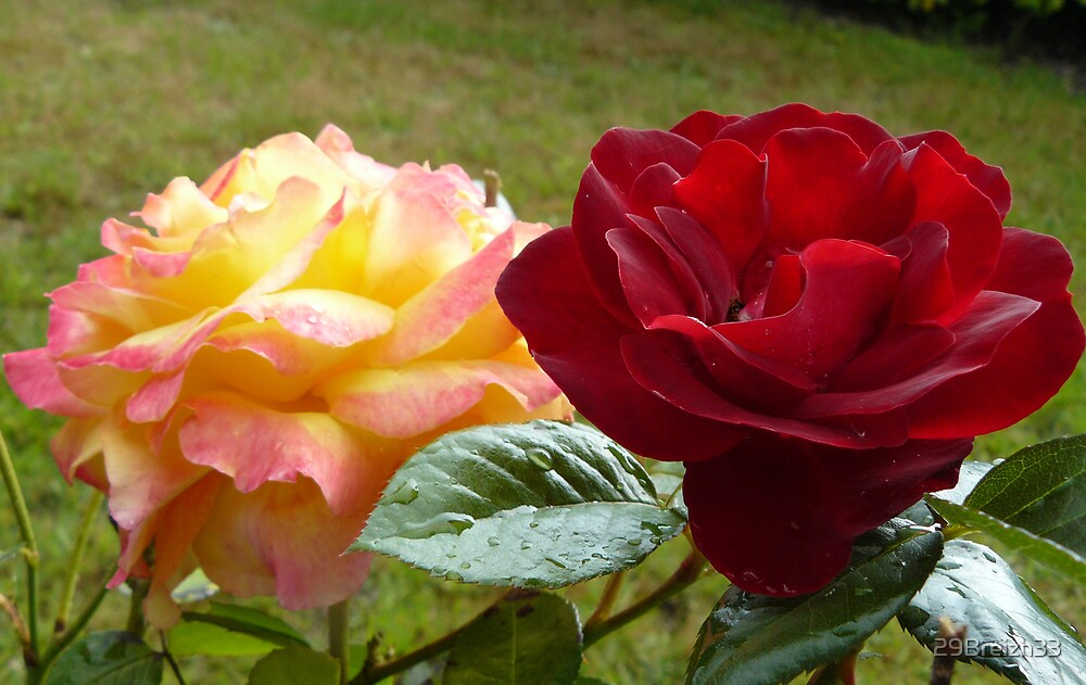 Two roses of my garden by 29Breizh33