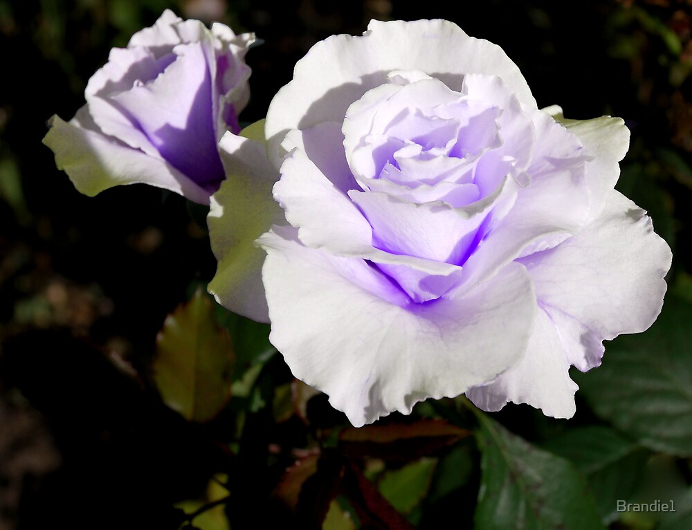 white Rose with a hint of Lilac by Brandie1