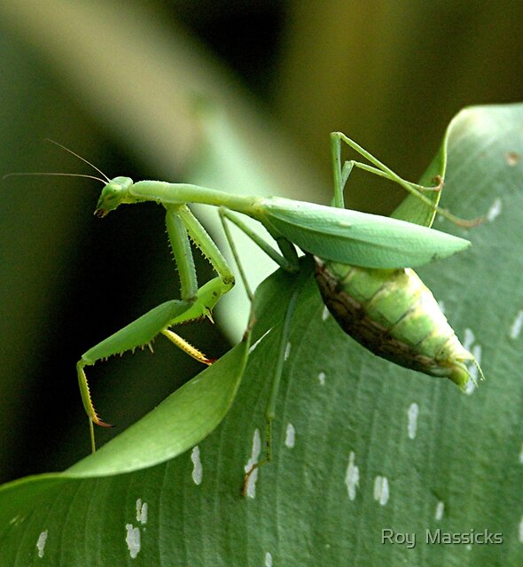 Praying Mantis......looking for a place to give birth...!! by Roy  Massicks