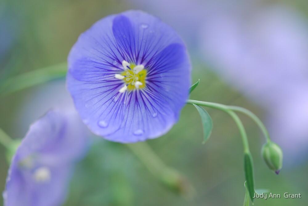 Wild Blue Flax  by Judy Ann  Grant