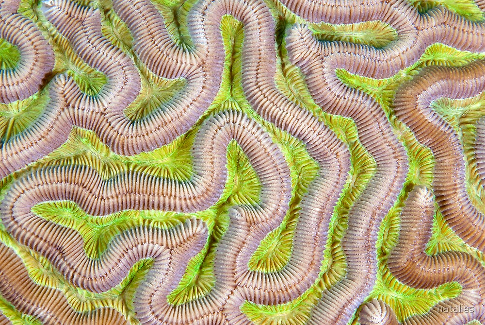 Brain Coral Close-up by natalies