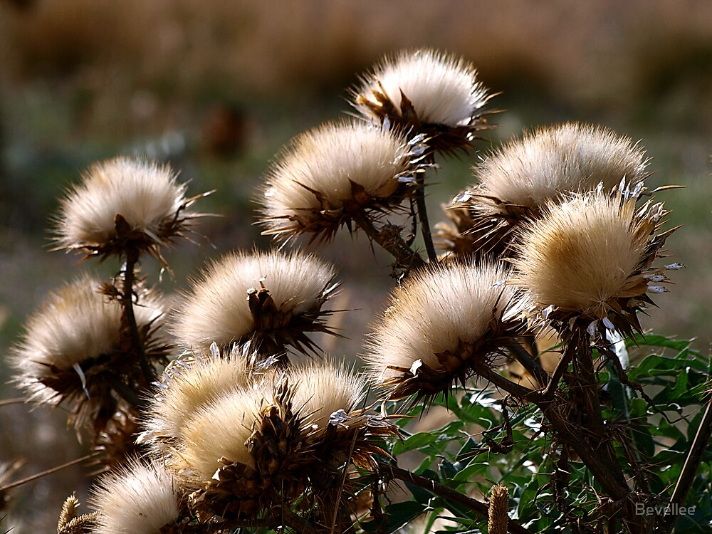 Thistles by Bevellee