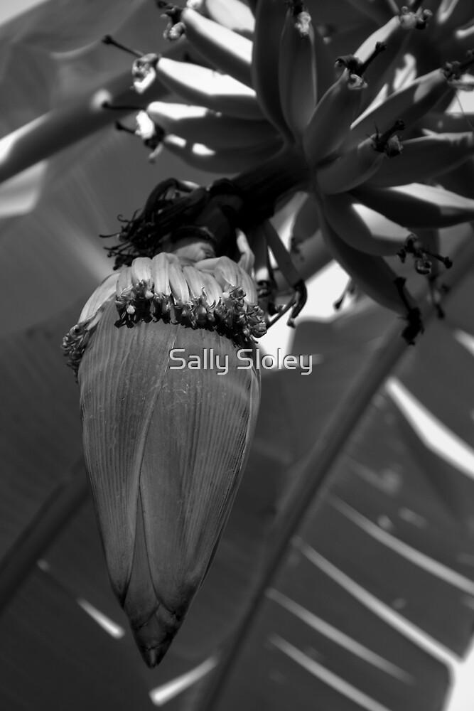 Banana Plant by Sally Sloley