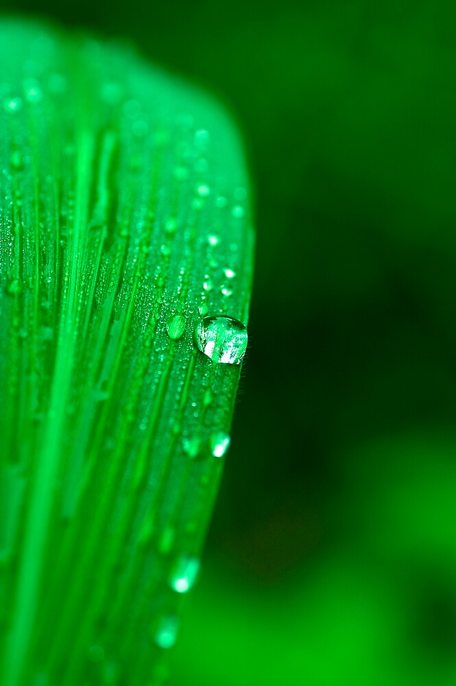 Dew on The Leaf by leolintang