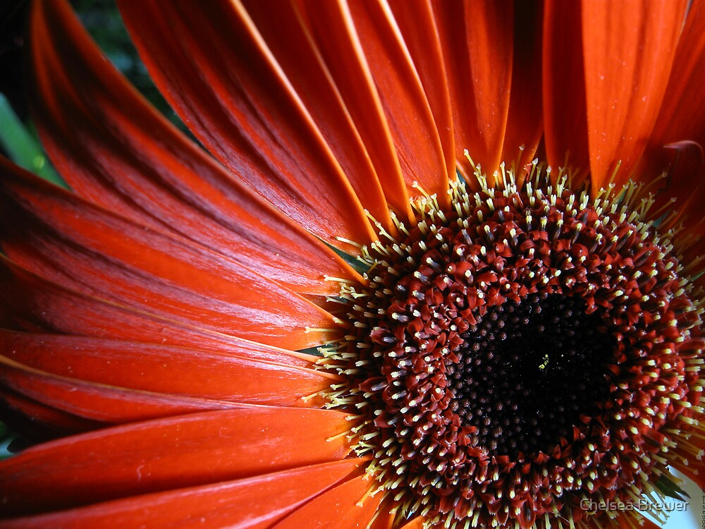 Gerbera Macro by Chelsea Brewer