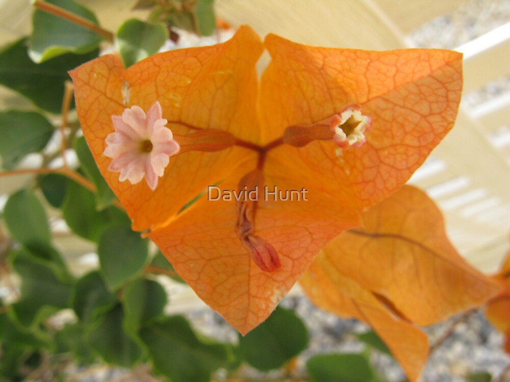 Orange / Pink Bouganvilea Flower by David Hunt