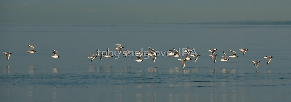 After the feed: Bonaparte's Gulls Georgia Strait by toby snelgrove  IPA