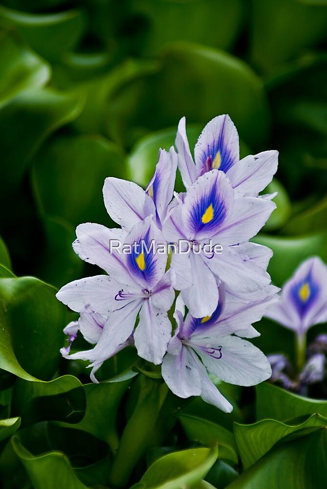 Water Hyacinth by RatManDude