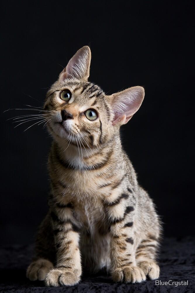 Marli Bangal Kitten by BlueCrystal