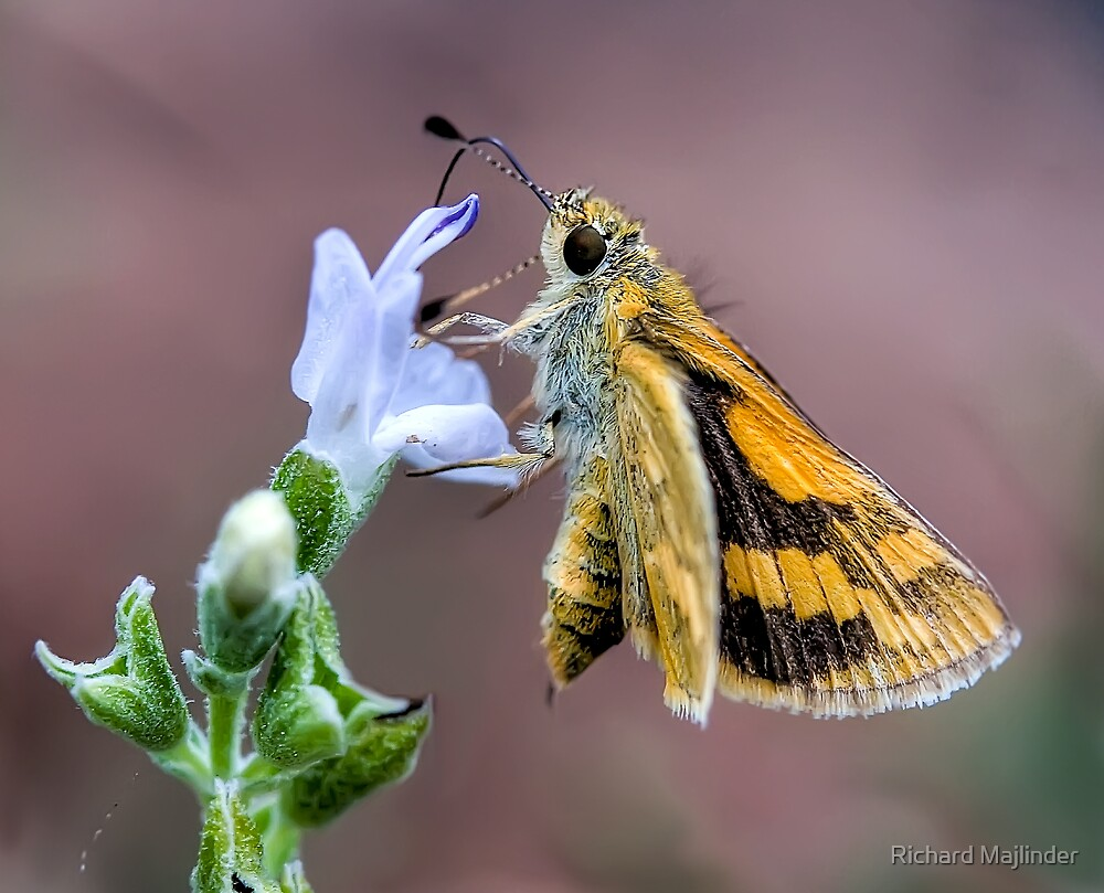 Moth feeding from flower by Richard Majlinder