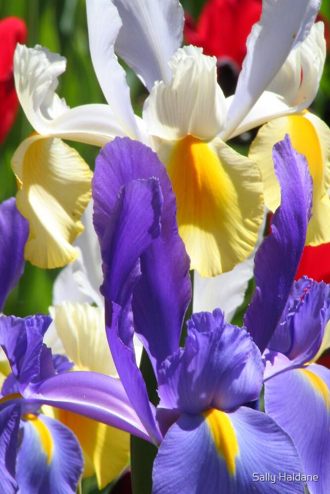 Iris Pair by Sally Haldane