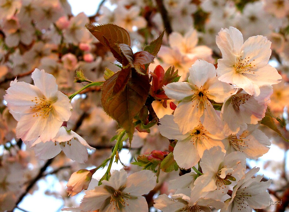 Last of the Cherry Blossom by jacqi