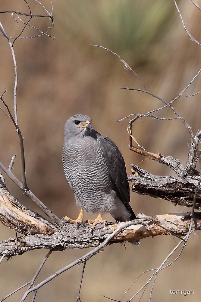 Grey Hawk by tomryan
