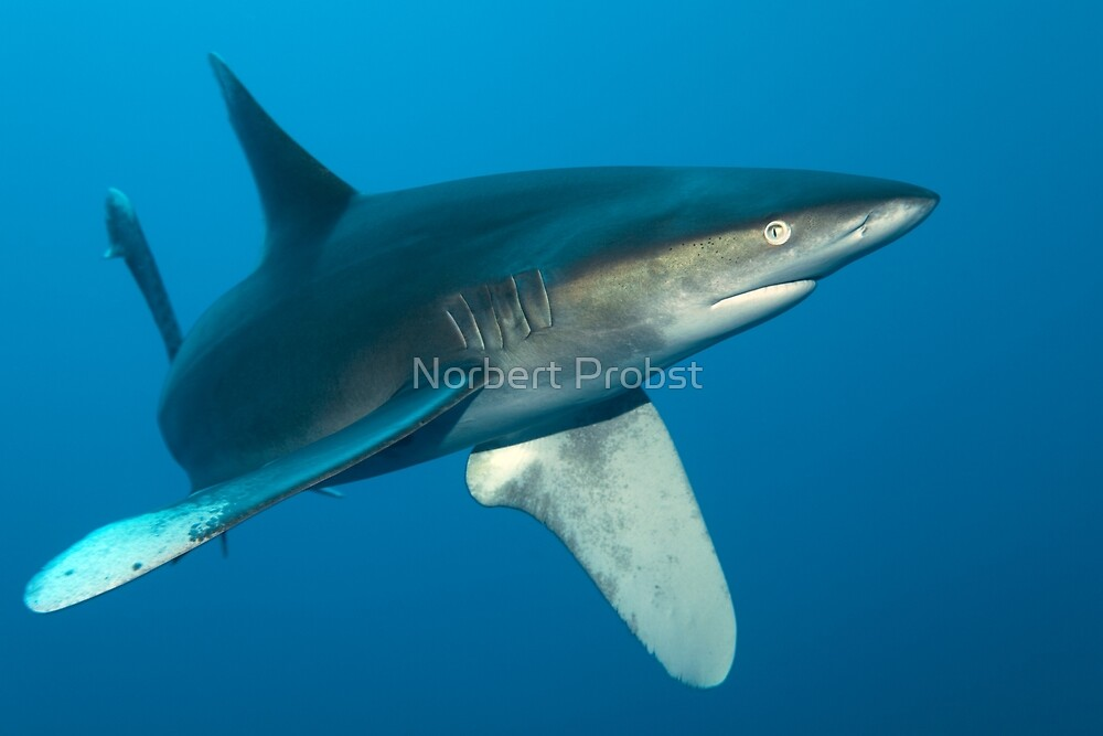 The Longfin by Norbert Probst