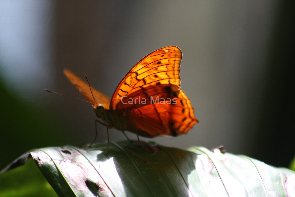 Sunny Butterfly by Carla Maas