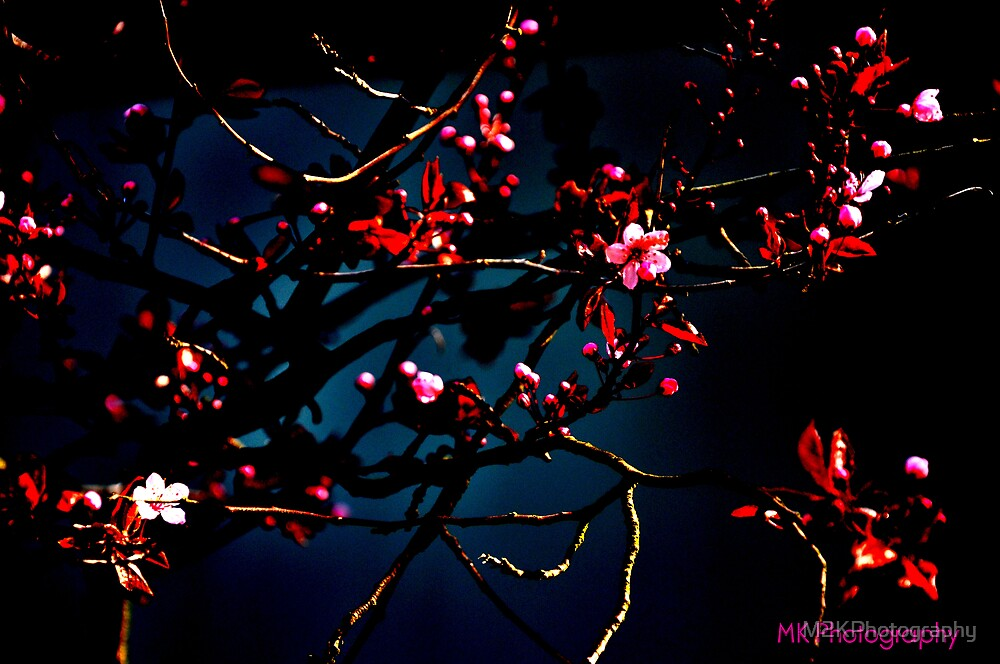 Cherry Blossoms by M2KPhotography