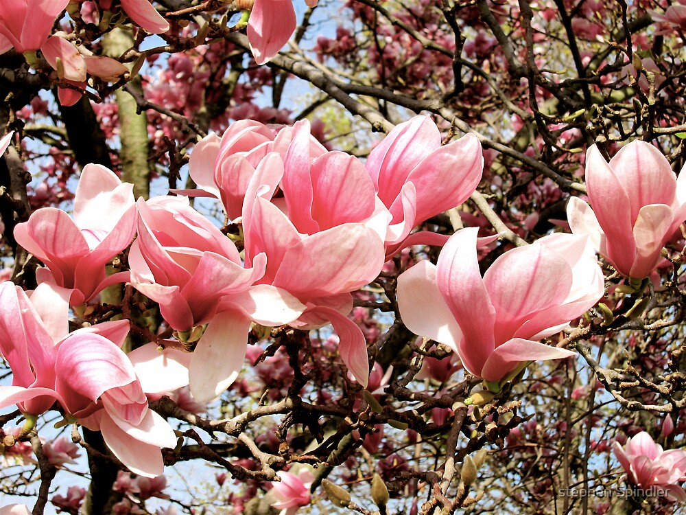 Magnolias 1 by stephen Spindler
