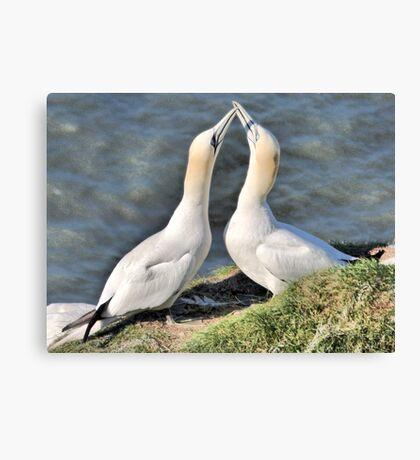 Gannets on Bempton Cliffs. Canvas Print